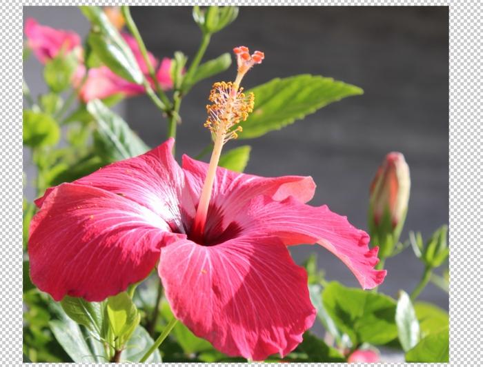 ハイビスカスの花の切抜き